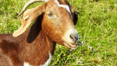 Photo of Push for better goat meat
