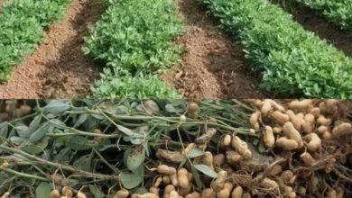 Photo of Kenya: Jane Mukami – Why I Won't Stop Growing Groundnuts