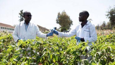 Photo of Kenya looks to gene editing to grow its key food crops