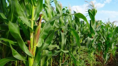 Photo of Agric Projects Not Skewed to Favour Any Zone, Says Emefiele