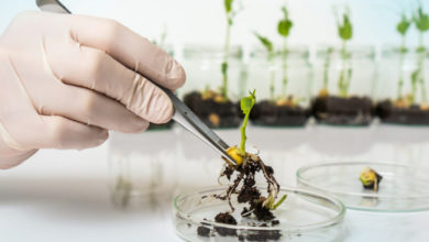 Photo of A new chance for genetically engineered crops