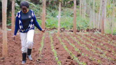 Photo of Kenya: Making the Global Demand for Macadamia Work for Kenyan Farmers