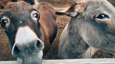 Photo of Kenya: Turkana Vaccinates Donkeys as Herders Return From Uganda