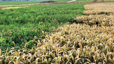Photo of Double Crop Forage Options