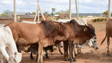Photo of Kwale County Donates High Breed Cattle To Farmers