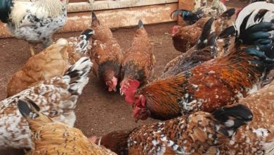 Photo of Bungoma Residents Encouraged To Venture Into Indigenous Poultry Farming