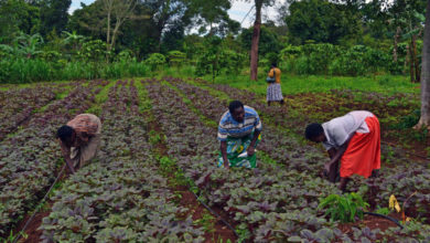 Photo of Women's role highlighted in a study focusing on the benefits of seed production for good farmers