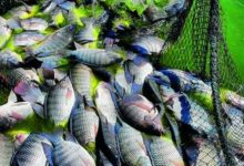 Photo of Fish farmers to raise catch by 50 percent in next four years