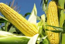 Photo of Tanzania: Government Acts Against Maize Price Drop