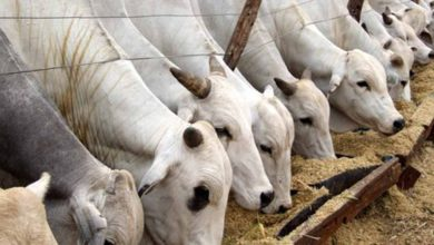 Photo of The Damau Masterplan for Livestock Transformation