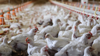 Photo of Lockdowns in South Africa weigh on imports of US chicken