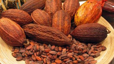 Photo of Ghana cocoa sustainability conference highlights urgent need for farmer support