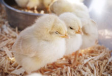 Photo of Day-old chicks crisis hits Kenya after new tax cuts production
