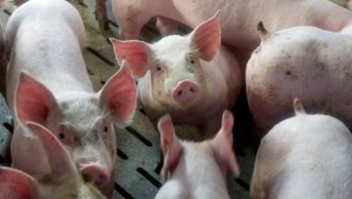 Photo of More countries reopen markets to Belgian pork as African Swine Flu subsides