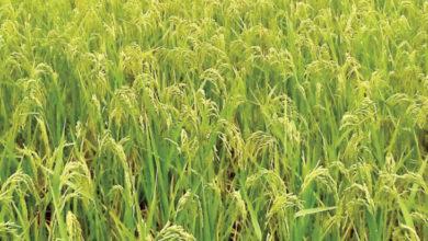 Photo of Malawi: Machinga Rice Farmers Ask Govt, Fum to Facilitate Contract-Farming Agreements