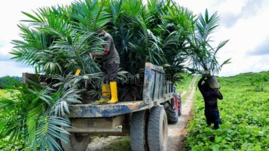 Photo of Juaben MCE distributes 10,000 oil palm Seedlings to farmers