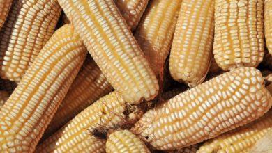 Photo of Zimbabwean farmers deliver 654 000t of grain