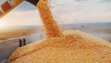 Photo of Zambia harvests largest corn crop ever