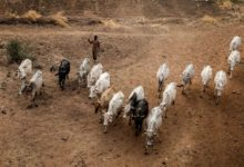 Photo of Nigeria: Livestock Industry and the Disruptive Effects of Covid-19