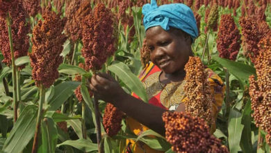 Photo of Zimbabwe: India Injects U.S.$1m for Climate Resilience Agriculture in Chiredzi, Mangwe
