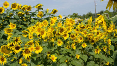Photo of Why sunflower has economic potentials locally and globally