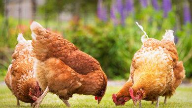 Photo of Poultry farmers groan as bird flu worsens in Delta