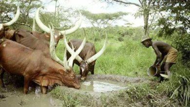 Photo of Drought Kills Over 200 Cows in Bunyoro-Livestock Farmers