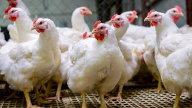 Photo of FAO To Train Migori Poultry Farmers To Improve Production