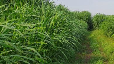 Photo of How to plant Napier grass for your livestock