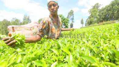 Photo of Tea farmers now uproot crop due to poor returns, corrupt officials