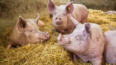 Photo of Poor Pig Welfare Leads to Low Quality Pork
