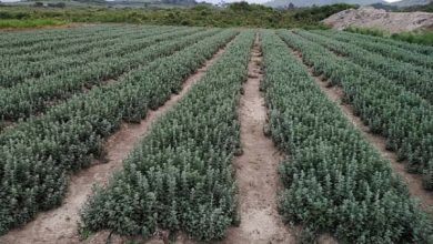 Photo of Kenya seeks US market access for fresh oregano and parsley