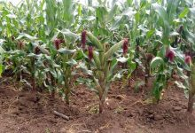 Photo of Farmers Eyeing Maize Harvest From Usueni Irrigation