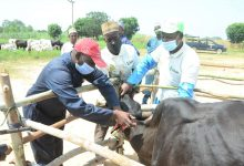 Photo of Outspan deepens BIP efforts, inseminates 100 cattle to boost local milk production