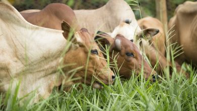 Photo of A grass native to Africa could transform the continent's dairy yields. Here's how