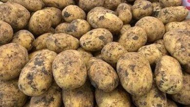 Photo of Government of Ghana to support largest potato exporter