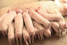 Photo of Pig farmers form group to reap benefits of economies of scale